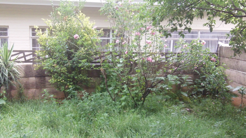 Rose bush among a rather neglected garden