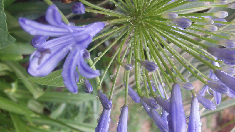 A close up photograph of an agapanthus after an afternoon rain shower