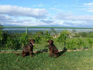 Two chocolate labradors sitting in front of a fence with a view of Ciudad Colon in the background.